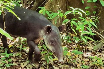 Tapir Danta Corcovado National Park Wildlife