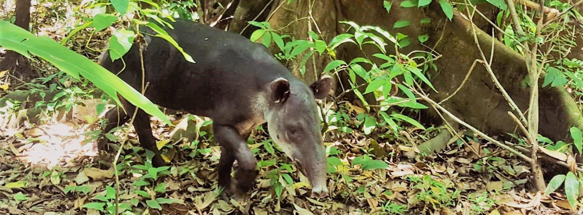 Tapir Danta Corcovado National Park Wildlife