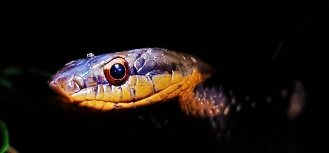 Snake Night Tour Osa Peninsula